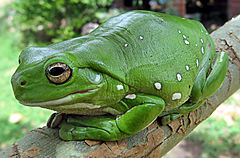 Magnificent_tree_frog_(Litoria_splendida)_crop